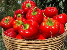Large Sweet Red Bell Pepper Capsicum Seeds X20