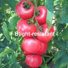 Kings Seeds - Tomato Honey Moon - 6 Seeds