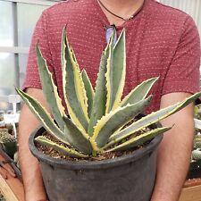 Agave americana variegata 12 inches Real Cactus Cacti  Succulent Plant