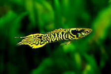 """3 Male Endler Tiger Guppies (1.25""""-1.5"""") Live Fish 2Day Fedex shipping"""