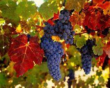 3 VENUS Seedless Grape Vine Plants * 1-2 Year Organic Grown *Great Time to Plant