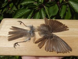 Flycatcher FEATHERS feet BIRD TAXIDERMY