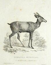 Muntjac de Sumatra Cuvier - gravure originale 19e Histoire Naturelle