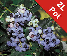 Blueberry Herbert Bush Soft Fruit Vaccinium Corymbosum 2L Pot SuperFruit Garden
