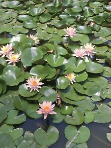 Live Water Lily Tuber Nymphaea Pinvaree Yellow Hardy Aquatic Plants for Aquarium Freshwater Fish Pond Flower Garden