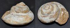 3869 Bathrotomaria (Pleurotomaria) bedetteae FOSSIL - 70,2mm - Kreide