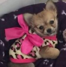 CUTE PUPPY WEAR Leopard Pink Coat XS TOY FAST FREE NEXT DAY DELIVERY PET CLOTHES