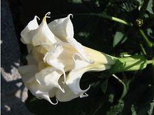 Datura Triple White 15 semillas Ángeles trompeta blanco plantas perfumadas