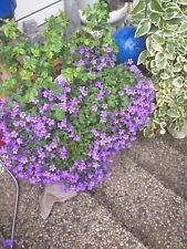 Glockenblumen für den Garten o. Kübel*** Jetzt noch pflanzen***