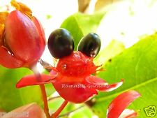Ochna Kirkii: 15 fresh seeds. Mickey Mouse Tree, Lucky New Year Tree! Mai Quy
