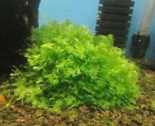 Pellia - for live hornwort windelove aquarium plant BX