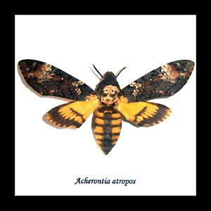 Death's Head Moth Taxidermy 'silence of the lambs' acherontia atropos BAAST