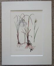 "Eriophorum angustifolium- Floral Botanical Study Bookplate - 11"" x 14"" Art Print"