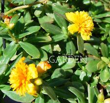 Fairy Tales Sleeping Beauty Purslane – Yellow Double Flower Portulaca - Cuttings