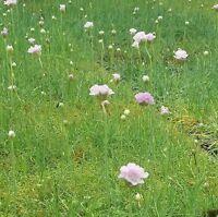 Wildflower Seeds - Thrift - 25 Seeds