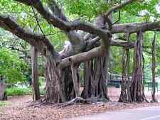 20 Ficus benghalensis ALBERO TROPICALE semi seeds korn samen semillas tree