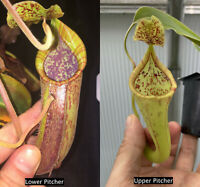 Nepenthes maxima x (?tomoriana).  Rooted Cutting
