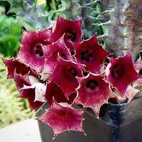 Huernia Macrocarpa * Stunning Red Succulent * Very Rare * 3 Seeds *