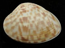 Three CALICO CLAM Half Shells T5