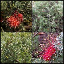 8 Grevillea Seaspray Native Garden Pot Plants Hardy Flower Shrubs Hedge preissii
