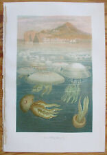 Original Chromolithographic Print Jellyfish Scyphozoans by Brehm - 1884#