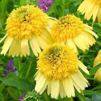 Pineapple Sundae Echinacea Coneflowers 100 Seeds Yellow Double Flowers Big Bloom