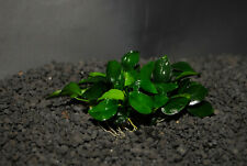 ANUBIAS NANA PETITE ONE PLANT-Freshwater Aquatic Live Plants  SUPER PRICE!!!!!