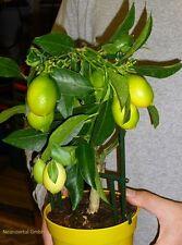 2 x Zitronenbaum Zitrusbaum Zimmerpflanze Zimmerpalme Büropflanze Baum immergrün
