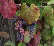 California Wild Grape - Vitis californica, California native plant seeds