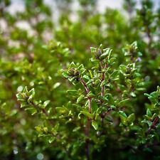 Echter Thymian - 2500 Samen , Thymus Vulgaris  Gewürz ,  Heilpflanze