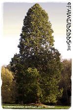 Sequoiadendron giganteum 'Giant Sequoia' [Ex. Whitaker Forest] 25+SEEDS