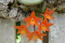 Sophronitis cerna Bare root (3) Plants Species