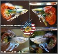 1 PAIR - Live Aquarium Guppy Fish High Quality - Dumbo Red Dragon Ribbon