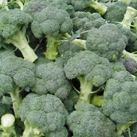 500 Seed Broccoli Seeds Sprouting Cancer Fighting Organic Superfood Vegetables