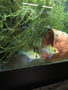 One Pair Of German blue And Electric Blue Ram Mix Tank Bred