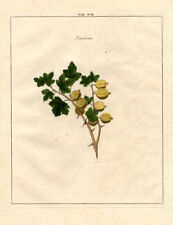 Antique Print-GOOSEBERRY-RIBES-Pomologia-Knoop-1758