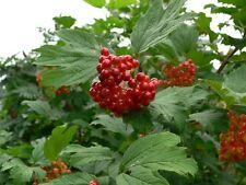 Highbush Cranberry Seeds - NORTH AMERICAN - Viburnum Trilobum- Edible - 20 Seeds