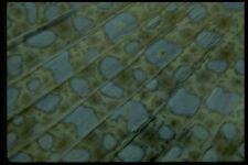 452093 detenidamente la aleta caudal de un pavo real Flounder A4 Foto Impresión