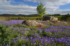 Holwell Lawn Dartmoor Bluebells Mounted Print Various Sizes (UK)