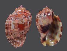 Seashells-harpa harpa 51-m.m. f+++