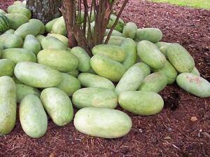 50 CHARLESTON GRAY WATERMELON Citrullus Lanatus Red Fruit Melon Seeds *Comb S/H