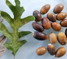8 Seeds of White Oak Tree Acorn Seeds T82, Live Mature Seeds