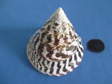 HUGE Tectus niloticus+ opercular -  Trochus Seashell, 152mm length (6. inch)