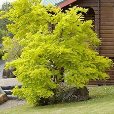 Gleditsia Sunburst Honey Locust Tree Front Garden Shade Golden Leaf Shrub Plant