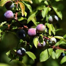 Pianta di Prugnolo (Prunus Spinosa) - Pianta comare del tartufo altezza 50/80 cm