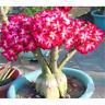5PCS Lot Rare Flower Pink Adenium Obesum Desert Rose Bonsai Tree Plant Seed