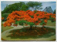 Poinciana Tree Queensland Postcard (P290)