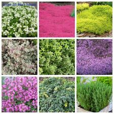 100 Thyme Herb Seeds 30 Kinds Subshrub Perennial Aromatic Spices for Home Garden
