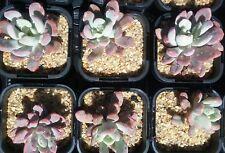 Pachyveria scheideckeri in 65mm square pot cacti and succulents