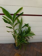 Plants Alpinia Cardamom Ginger 200mm pots approx 1m hgt $18-ea